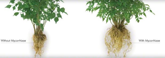 NẤM RỄ CỘNG SINH - NẤM RỄ TRONG (MỸ) (MYCORRHIZA - ENDOMYCORRHIZAL FUNGI)